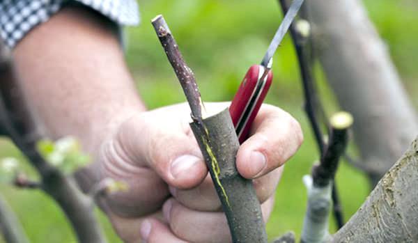 В апреле следует выполнить прививание плодовых саженцев